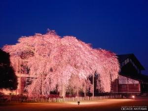 長野県飯田市の杵原学校(桜)